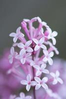 closeup of hyacinth