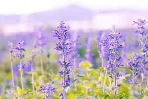 Blue Salvia (salvia farinacea)