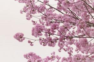 Sakura or cherry Blossom in color Vintage style.