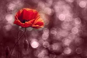 Beautiful wild poppy photo