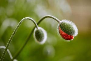 half geopende papaver bloemknop