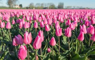 tulipanes florecientes rosados de cerca foto