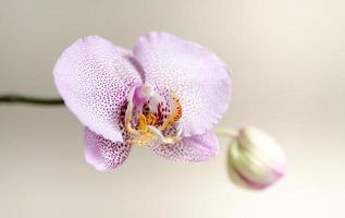 capullo de la orquídea
