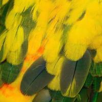 Sun Conure feathers