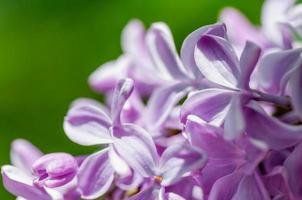 flower of lilac on a green background photo