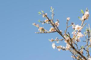 Almond branch in bloom.