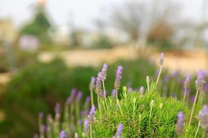 Lavender bush on blurred background