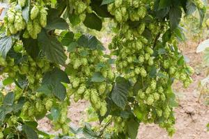 detail of hop cones in the hop fild