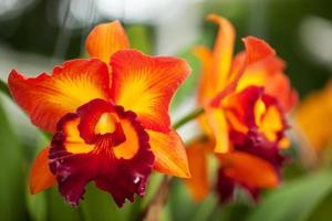 Cattleya Orchid photo