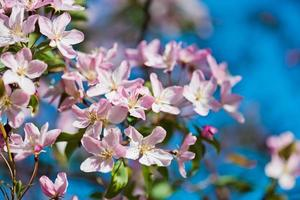 blooming branch of apple tree in spring photo
