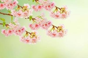 Spring Cherry blossoms (Sakura) in full bloom