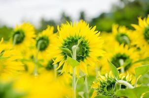 behind sunflower