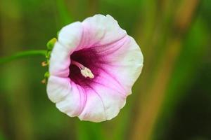 flores de gloria de la mañana foto