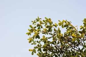 Terminalia ivorentsis deja en el jardín foto
