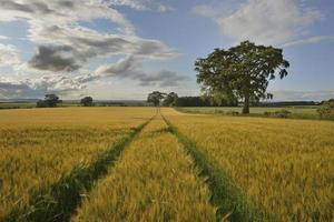 The young shoots of grain  Scotland, Livingstone