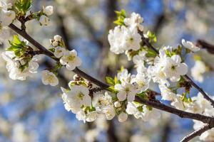 flowers of apple tree in sunlight