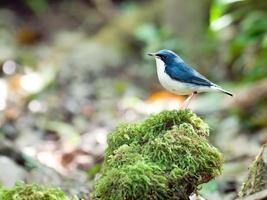 Siberian Blue Robin photo