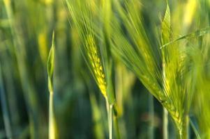 Unripe green ears of barley photo