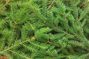 Fir tree background
