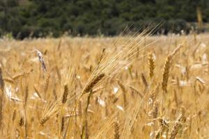 Glean field in agricultural area photo