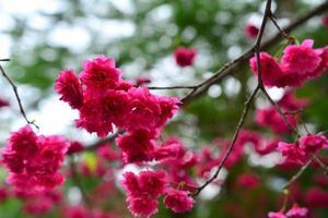 Red sakura blossoms photo