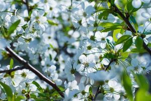 Blooming fruit trees.