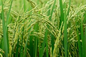 Close up of green rice paddy in rice field.