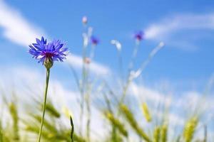 Acianos en flor (centaurea cyanus)