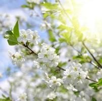 Spring blossoms tree photo