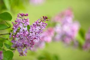 Spring lilac on a green background