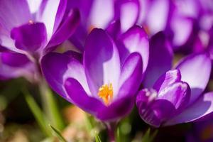 macro of first spring flowers in garden crocus