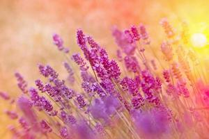 Soft focus on lavender in late afternoon - sunset in lavender garden