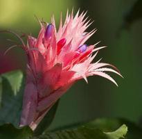 flor de bromelia rosa