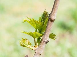 Spring season background with vine leaves in the vineyard photo