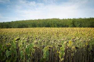 plantacion de girasoles