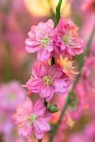 flores de ciruelo rojo