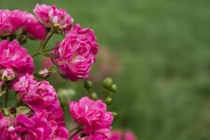 Rose, background