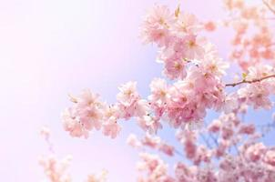 Pink flowers, blossom tree on bright, blue sky. photo