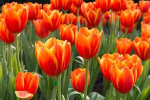 Colorful tulips and other flowers in royal park rajapruek. photo