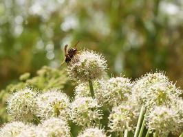 Bee on a flower angelica photo
