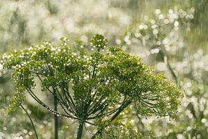 de groene dille in regen