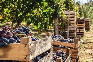 Grape Harvest photo