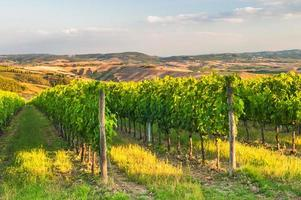 Beautiful vineyards on the hills of the peaceful Tuscany, Italy