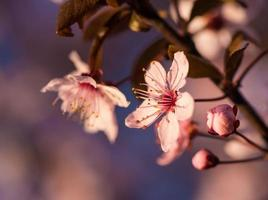 Blooming tree with pink flowers in spring photo