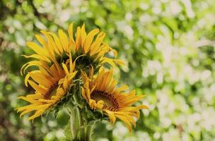 Beautiful sunflower on nature in summer day