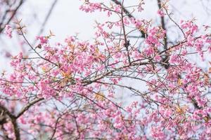 An Image of Sakura