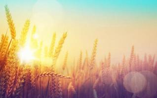 art golden wheat field and sunny day photo