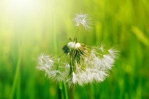 Dandelion in green grass photo