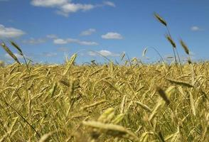 Barley field. photo