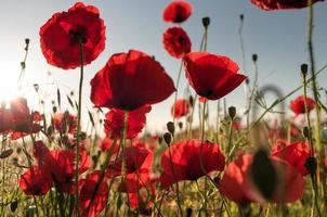 Summer poppy field in morning sunlight photo